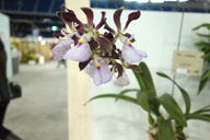 Scented orchid Enc. Cordigera 'Wild life'