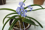 Scented orchid Van. Charm 'Blue Moon'