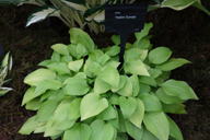 Hosta 'Hydon Sunset'