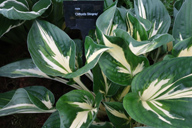 Hosta 'Cliffords Stingray