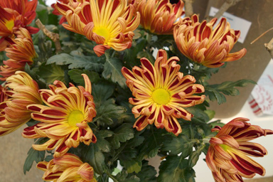 Chrysanthemum 'Autumn'