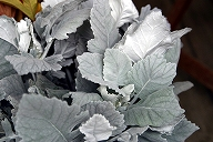 Senecio cineraria / dusty miller