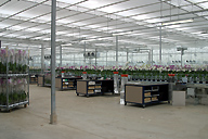 Orchid grower in Holland